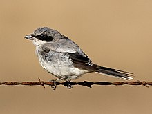 Loggerhead Shrike moulting