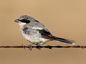 Moulting - Loggerhead shrike moulting.