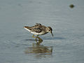 Long-toed Stint 0404.jpg