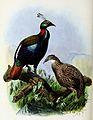 Lophophorus impejanus 1873.jpg