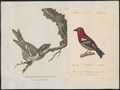 Loxia leucoptera - 1700-1880 - Print - Iconographia Zoologica - Special Collections University of Amsterdam - UBA01 IZ16000191.tif