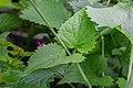 Lunaria annua in Aveyron 03.jpg