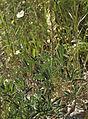 Lupinus gredensis 20130503 c.jpg