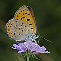 Lycaena alciphron female.jpg