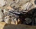 Lycosidae. (Alopecosa cuneata^) - Flickr - gailhampshire.jpg
