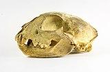 Lynx lynx crâne.jpg