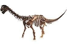 Scheletro di camarasauro, un sauropode.