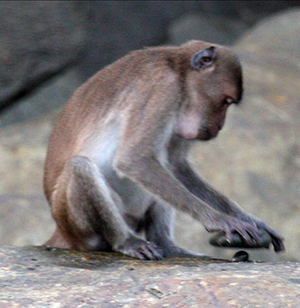 Animal cognition - A crab-eating macaque using a stone tool to crack open a nut.