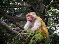 Macaque monkey.jpg