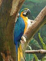 Guacamayo azul ave tropical, que habita en la amazonía boliviana