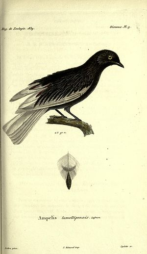 White-tailed cotinga - Image: Magasin de zoologie BHL2266901