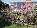 Magnolia (23122501889).jpg