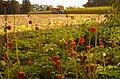 Maisoogst, nu met bloemen - panoramio.jpg