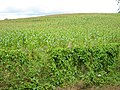 Maize crop off Bovone Lane, Tibberton - geograph.org.uk - 931557.jpg