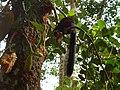 Malabar Giant Squirrel on a Jackfruit tree.jpg