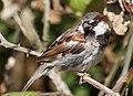 Male House Sparrow on Reifel Island.jpg