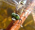 Male Lesser Emperor. Anax parthenope. Head detail - Flickr - gailhampshire.jpg