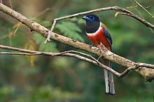 Male Malabar Trogon.jpg
