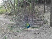 Файл:Male peacock tail display at Sofia Zoo 20130420 HQ.ogv
