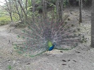 File:Male peacock tail display at Sofia Zoo 20130420 HQ.ogv