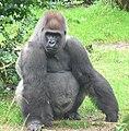 Male silverback Gorilla.JPG