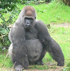 Männlicher Westlicher Gorilla (Gorilla gorilla)