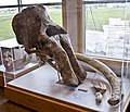 Mammoth skull tusks molars - Lindsay Montana - Museum of the Rockies - 2013-07-08.jpg