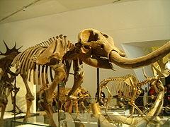 americanum ROM Mammut - Mastodon.jpg americana