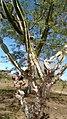Mandacaru (Cereus jamacaru) 04.jpg