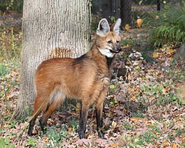 Maned Wolf 6, Beardsley Zoo, 2009-11-06.jpg