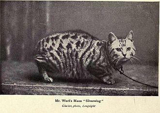 Manx cat - Tabby, rumpy Manx male champion show cat named Silverwing (UK, 1902)