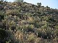 Maquis with flowering Urginea maritima - panoramio.jpg