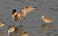 Marbled godwit, Limosa fedoa, Moss Landing (Elkhorn Slough and beach), California, USA. (30852696341).jpg