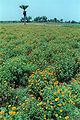 Marigold Field 20020400 5.jpg