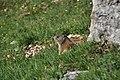 Marmota2.jpg