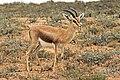 Maroccan dorcas gazelle (Gazella dorcas massaesyla).jpg