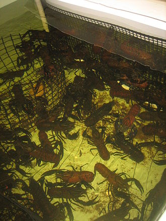 Crayfish as food - Farmed marron (Cherax tenuimanus) on Kangaroo Island