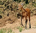 Marsh Deer (Blastocerus dichotomus) doe on the road ... (31560683471).jpg