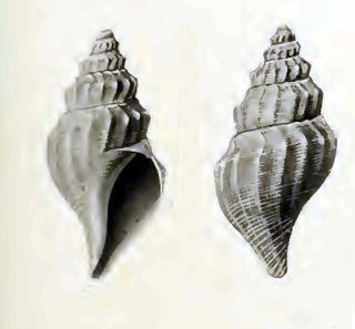 <i>Marshallena</i> genus of molluscs