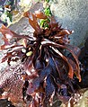 Mastocarpus papillatus on Petrocelis.jpg