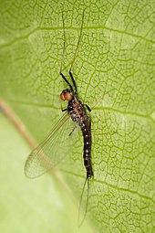 Mayfly Wikipedia