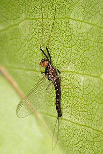 Leptophlebiidae family of insects