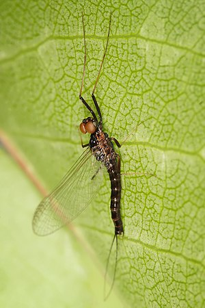 Mayfly - Adult Atalophlebia with the cylindrical dorsal or turban eyes visible