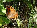 Meadow Brown. Maniola jurtina hispulla. - Flickr - gailhampshire.jpg
