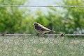 Meadow Pipit (5294346068).jpg