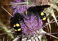 Megascolia maculata - Flickr - S. Rae (1).jpg