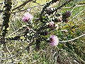 Melaleuca orbicularis foliage, flowers and fruit.jpg