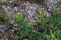 Melilotus indicus plant (02).jpg