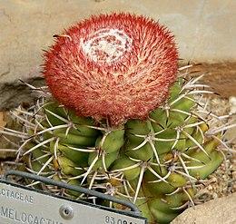 Melocactus concinnus 1