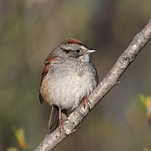 How Much Is A Crown >> Swamp sparrow - Wikipedia